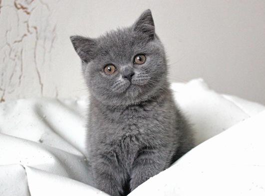 Кот британец голубой купить