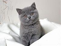 купить породистого котенка из питомника в москве
