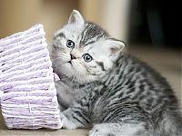 купить шотландского котенка кошку кота