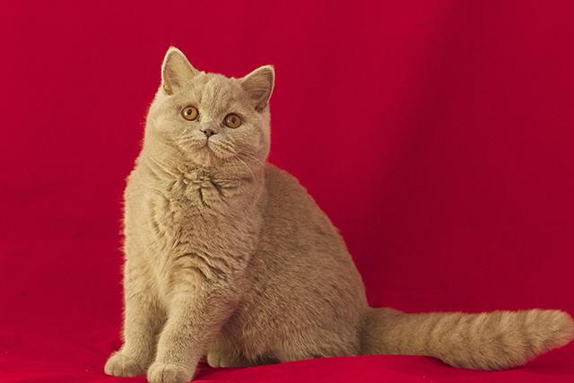 Британские кошки фото картинки