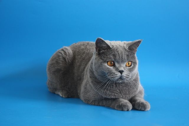 Объявления о продаже котят. Британские кошки уход