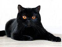 Сайты о продаже котят. Британские кошки продажа