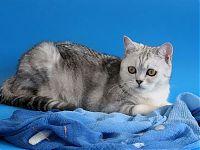Шотландская серебристо мраморная кошка