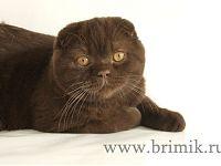 Британские кошки вислоухие
