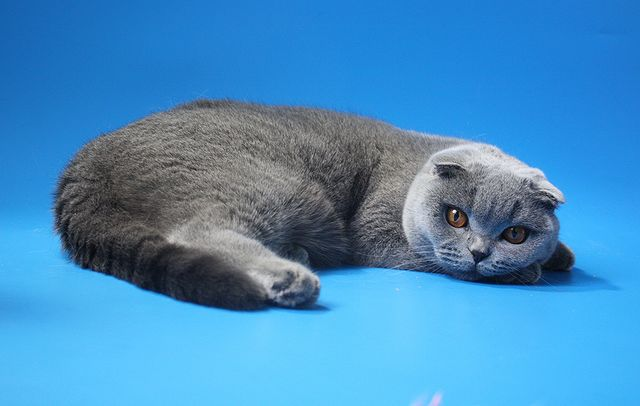 Blue Scottish Fold Голубая шотландская вислоухая кошка - питомник кошек скоттиш фолд и страйт