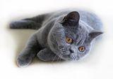 Порода британская короткошерстная кошка, содержание, уход, описание.