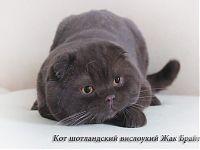 Шотландский вислоухий взрослый кот