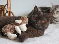 Шоколадный  кот продается