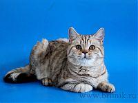 Британская кошка Рашель