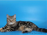Британская кошка 5 мес