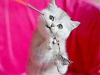 Котенок мальчик серебристого окраса