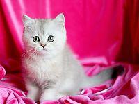 Котята серебристых окрасов пушистые вислоухие