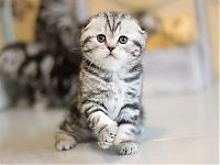 Котенок тигровый на серебре
