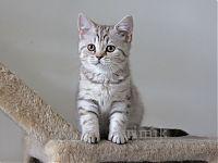 Британский пятнистый котенок