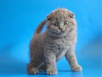 Котенок скоттиш фолд голубого окраса