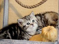Котята шотландские короткошерстные