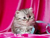 Котенок девочка шоколадного окраса
