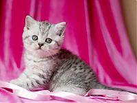 Котик шотландский короткошерстный
