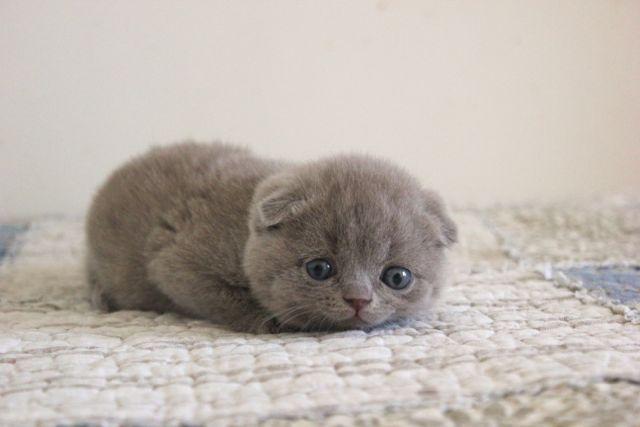 котята вислоухие лиловые фото