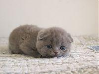 Котенок лилового окраса