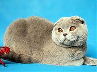 Шотландская вислоухая лиловая кошка - питомник вислоухих кошек  Москва