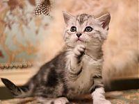 Котенок мальчик лилового окраса