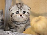 Продажа серебристых котят