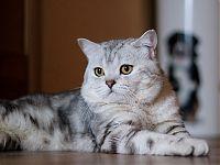 Вязка кошек-продажа котят