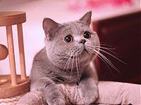 котенок британец продается