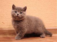 Голубые котята с оранжевыми глазами