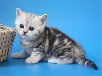 Котенок 1,5 месяца цена договорная