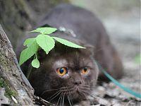 Кот скоттиш фолд