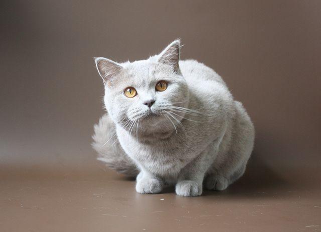 Шотландская короткошерстная кошка скоттиш страйт