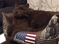 Британский кот купить