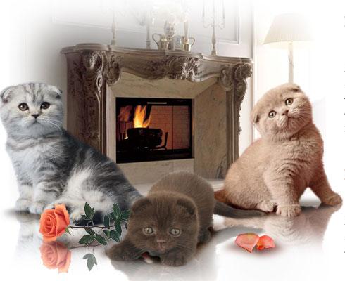 купить шотландского котенка купить вислоухого котенка купить британского котенка в москве