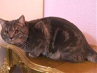 Короткошерстный кот