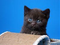 Котенок шоколадного окраса  - скоттиш страйт