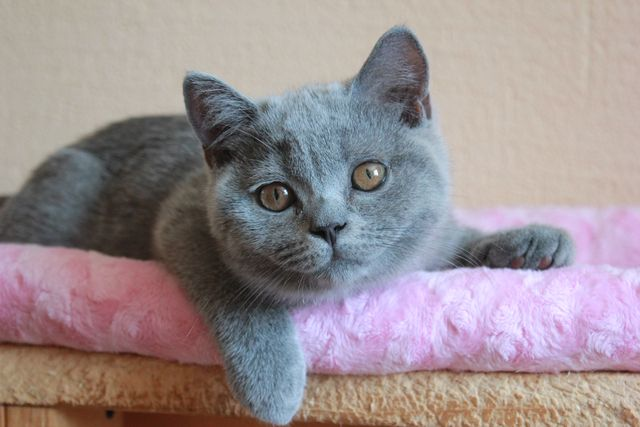Голубой британец котик