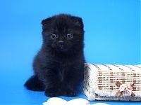 Черный вислоухий котенок ШОУ КЛАСС
