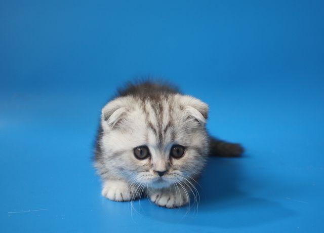"Питомник  ""Микаэлла "" - Шотландский вислоухий котенок мрамор на серебре."