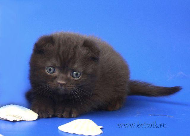 вислоухий шотландец купить вислоухого котёнка