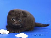 Купить вислоухий кот москва