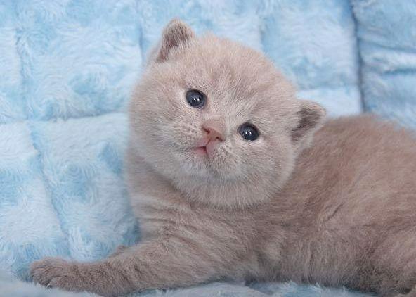 фото шотландец котенок