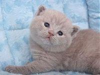 Шотландский лиловый котенок