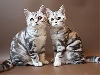 Шотландские котята мраморные (Вискас)