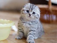 купить вислоухого котенка мраморного окраса продажа цена фото