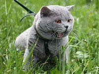 Голубой кот Авось