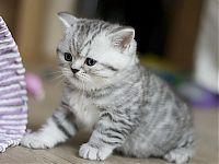 купить шотландского котенка в Москве недорого