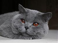 продажа британских котят кошек котов цены фото в Москве