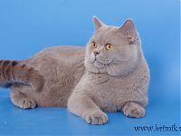 Британский кот возраст 1 год 4 мес